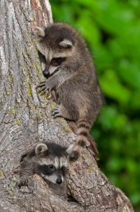 Raccoon, Baby Animal, Raccoon on tree, Nature